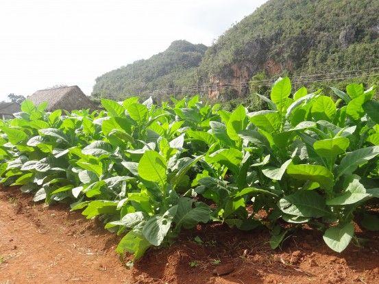 Champs de tabac que vous pouvez visiter à Vinales à Cuba photo blog voyage tour du monde https://yoytourdumonde.fr