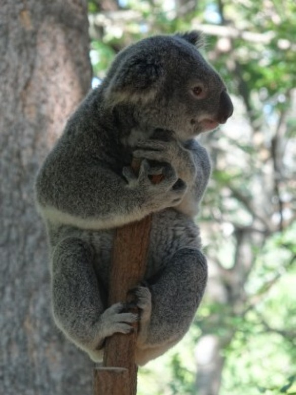 Australie- Brisbane: Mr Koala!!!