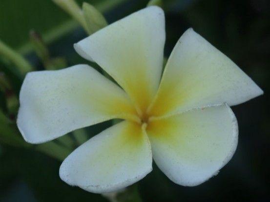 fleurs-nouvelle-caledonie-lifou
