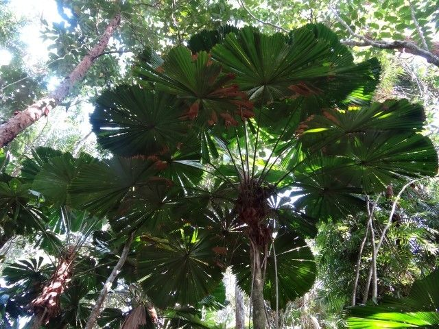 Australie- Queensland: La foret tropicale.