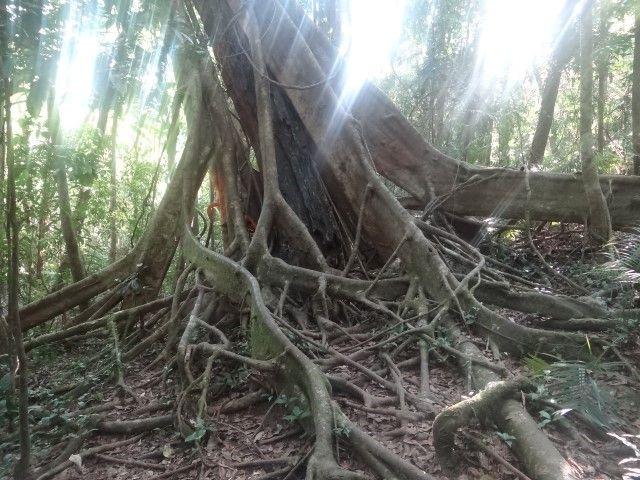 Australie- Queensland: Arbres de la foret tropicale.