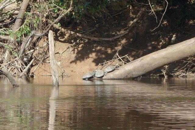 Pérou-Réserve Pacaya Samiria: Encore des tortues.