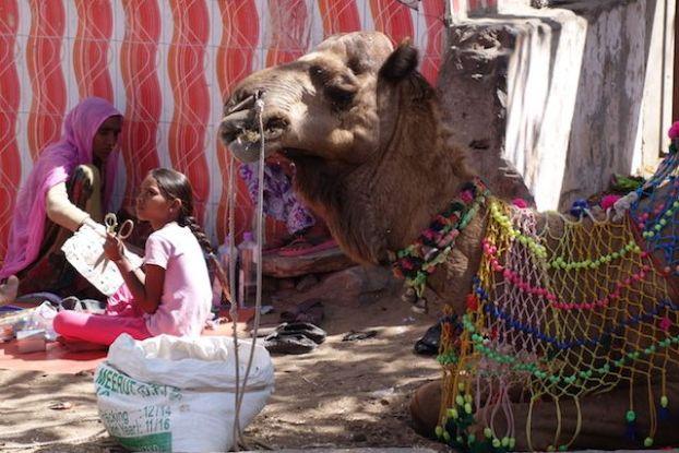 les chameaux du coté de pushkar dans le rajasthan sont utilisé par les locaux pour le tourisme mais aussi pour se deplacer. Une foire a chameaux est aussi organisée à pushkar photo voyage tour du monde blog https://yoytourdumonde.fr