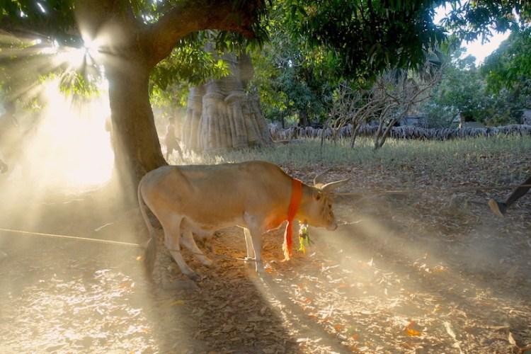 Une vache est offerte à une famille lors d'une cérémonie photo blog voyage tour du monde https://yoytourdumonde.Fr