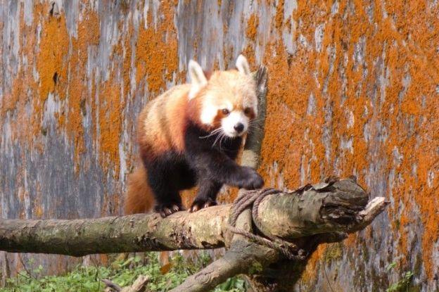 Le Pnada rouge est visible dans le zoo de darjeeling en inde. photo blog voyage tour du monde https://yoytourdumonde.fr