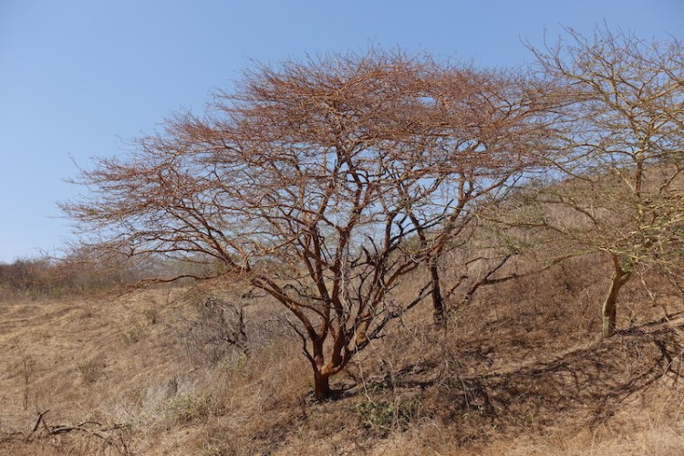 Arbre du coté de la réserve naturelle de Popenguine au Sénégal photo blog voyage tour du monde https://yoytourdumonde.fr