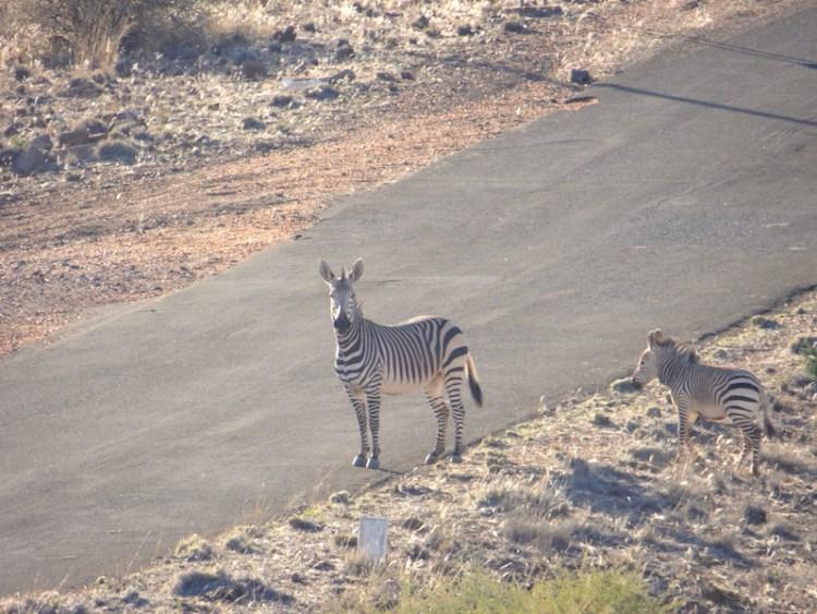 Une maman et son film zèbre dans la réserve d'Hardap en Namibie photo blog voyage tour du monde https://yoytourdumonde.fr