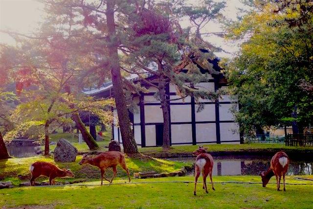 A Nara au Japon vous allez rencontré des milliers de cerf et de daims dans la ville. Photo blog voyage tour du monde https://yoytourdumonde.fr