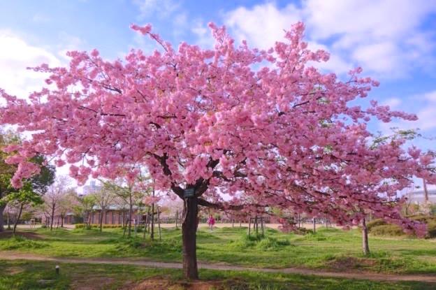 Les cerisiers en fleurs au Japon sont d'une beauté extraordinaire comme ici à Osaka photo blog voyage tour du monde https://yoytourdumonde.fr