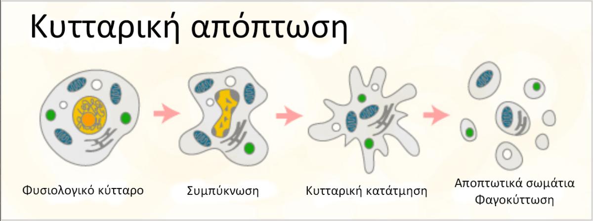 Απόπτωση: υπερθερμία μηχανισμοί δράσης στον καρκίνο