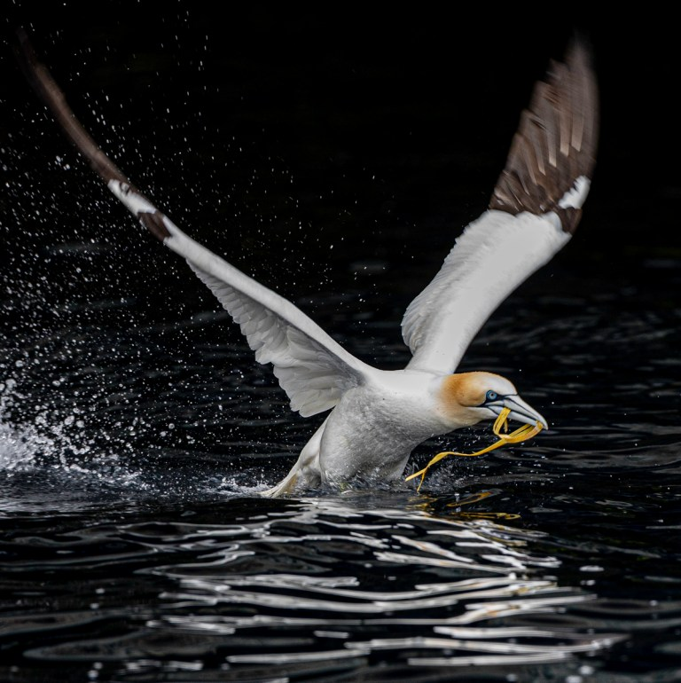 RIPO19555_Stuart Ward_Gannet Take Off