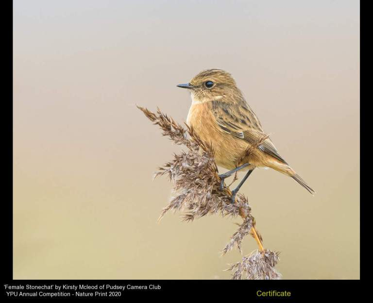 Pudsey Camera Club_Kirsty Mcleod_Female Stonechat