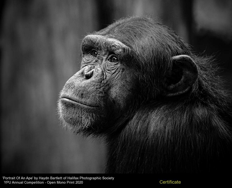 Halifax Photographic Society_Haydn Bartlett_Portrait Of An Ape