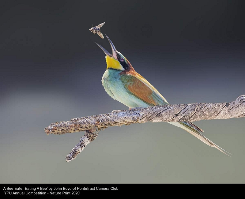Pontefract Camera Club_John Boyd_A Bee Eater Eating A Bee
