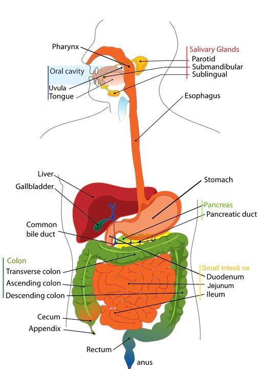 pancreas_digestivo1