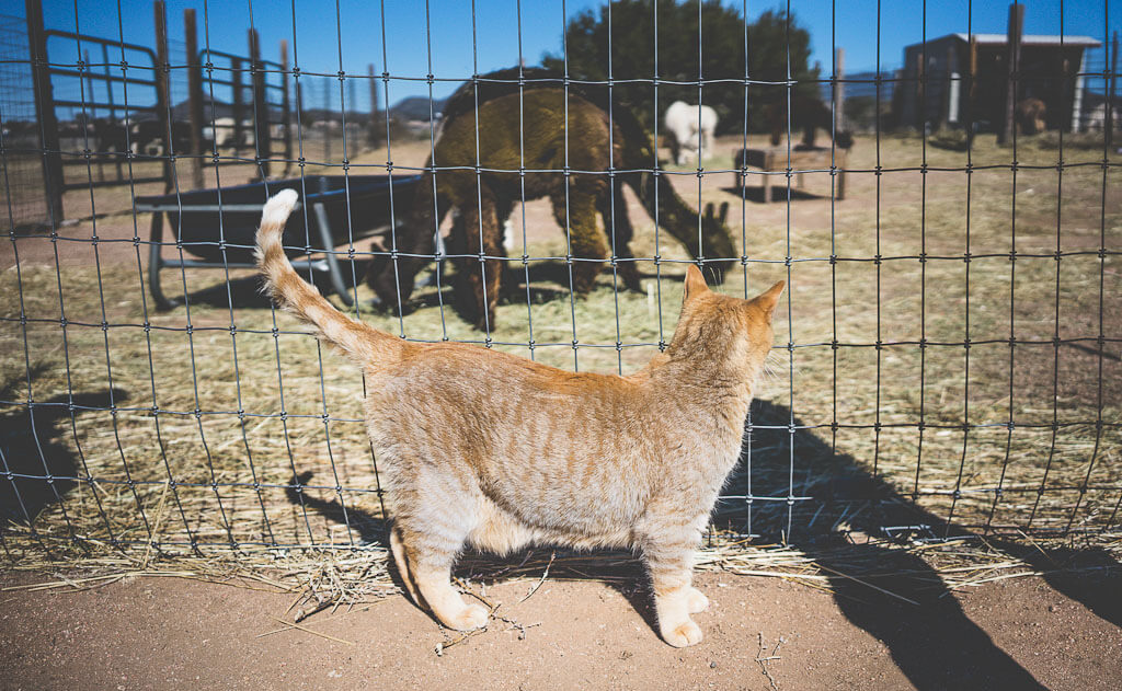 Blue Mesa Alpacas, Santa Fe, New Mexico