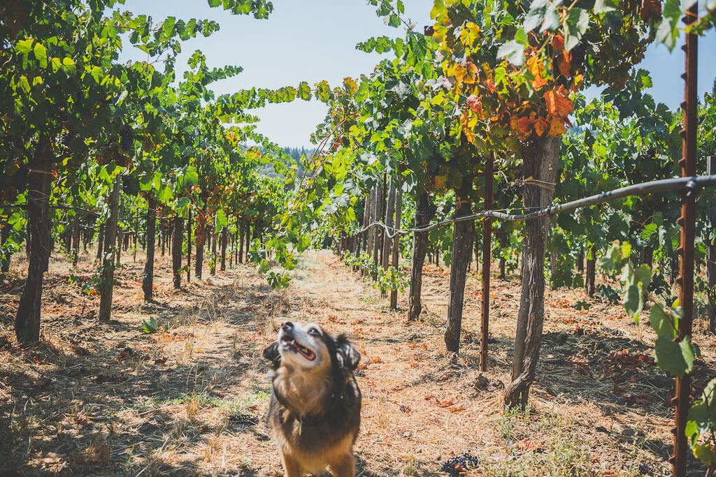 dog friendly wineries in Sonoma, dog friendly wine tasting in Sonoma, sonoma dog friendly wineries, California wineries that welcome dogs, dry creek wineries, Russian river wineries, dry creek valley, Healdsburg wineries, Kenwood wineries, Quivira, prettiest wineries in Sonoma