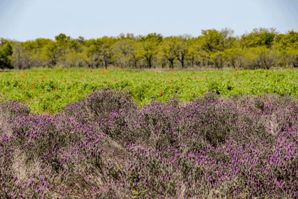 Lavender farms in Blanco, the lavender capital of Texas and home to annual lavender festival in June