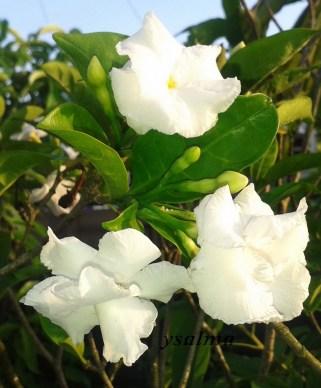 Bunga Kaca Piring Putih