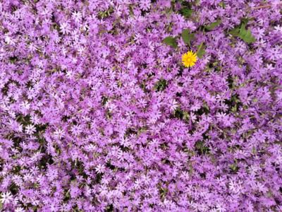 The audacity of dandelions
