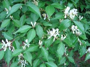 Amur honeysuckle in bloom (Annemarie Smith, ODNR Forestry)