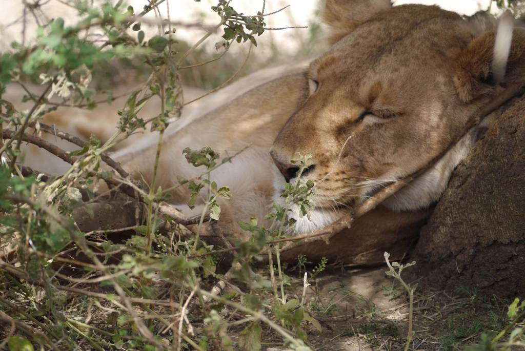 serengeti lioness, sleeping lion