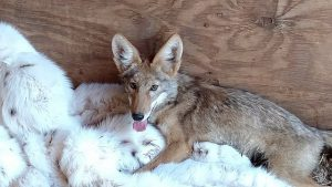 This young coyote is just one of 28 orphaned coyote pups currently receiving care at The Fund for Animals Wildlife Center in Ramona, California. He is staying relaxed and comfortable in a fur coat donated by Born Free USA. This 1980s coat was dyed to look like a lynx and cost the lives of up to 20 Arctic foxes. We are so grateful to give the fur back to the animals in some small way. Photo: The Fund for Animals Wildlife Center