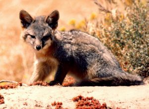 island fox, Urocyon littoralis, U.S. Navy photo