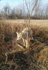 A coyote in Ohio, samples from which were used in the study. (Photo by Suzie Prange, Ohio Department of Natural Resources)
