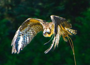 Osprey in Flight During Creancing - photo by Dick Mooney