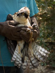 Osprey Being Held by Eric Gunderson - photo by Ann Westling