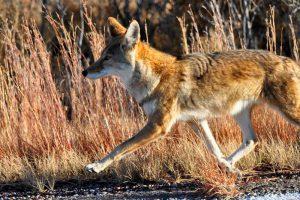 coyote-flickr-larry-lamsa