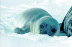 Photo of a sampled seal pup on the first day of the study. Photo by Kit Kovacs at the Norwegian Polar Institute