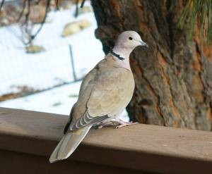 The Eurasian Collared-Dove has spread rapidly across North America during the past 30 years. Photo by Patricia Jones Mestas/FeederWatch.