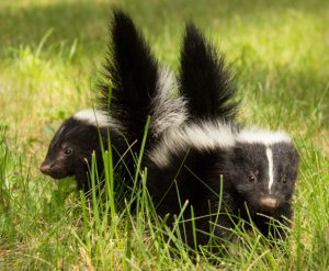 Two baby skunks in care after their mother was killed on Ridge Road in Nevada City. Photo: Ann Westling