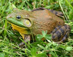 North American bullfrog (Rana catesbeiana). From English Wikipedia. Taken by Carl D. Howe.