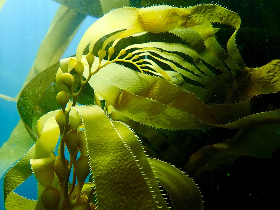 Giant kelp, Macrocystis pyrifera, is common along California's central and southern coast. Photo credit: Jenn Caselle