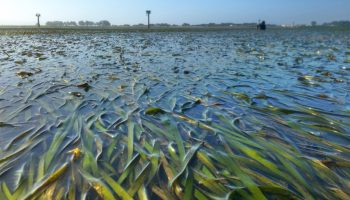 Seagrass, akin to a marine forest in terms of the biodiversity found within it, spreads across Tomales Bay. (Melissa Ward, UC Davis)