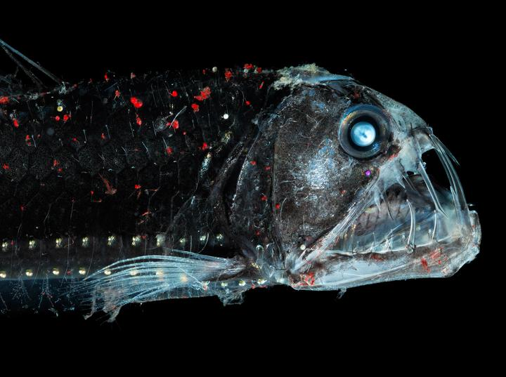 The habitat for deep-sea organisms (e.g. the viper fish) could become smaller in the future.