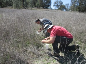 BLM Biocontrol Lead Joey Milan (red shirt) and UC Extension Service Scott Oneto release the yellow starthistle rosette weevil on mature plants at the Magnolia Ranch.