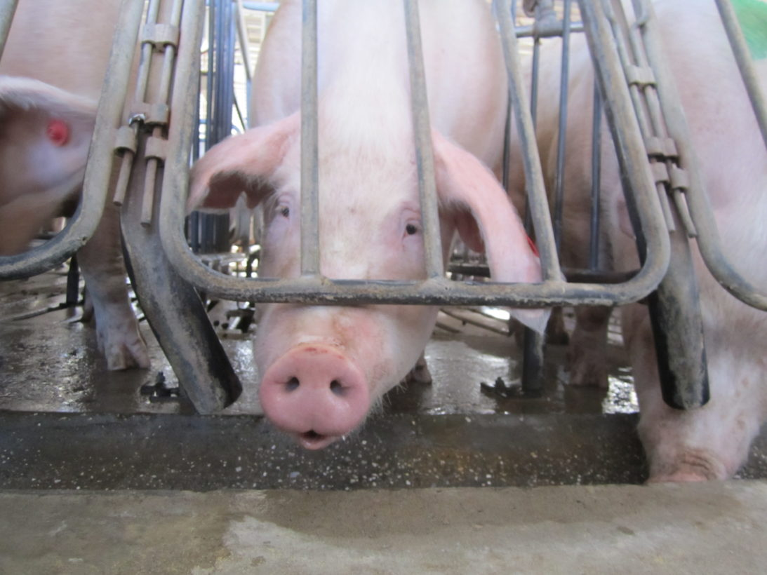 California's historic farm animal protection law, Proposition 12, bans the sale of products that come from farm animals in extreme confinement, like pigs in gestation crates. The HSUS