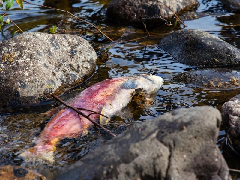 A dead Pacific sockeye salmon