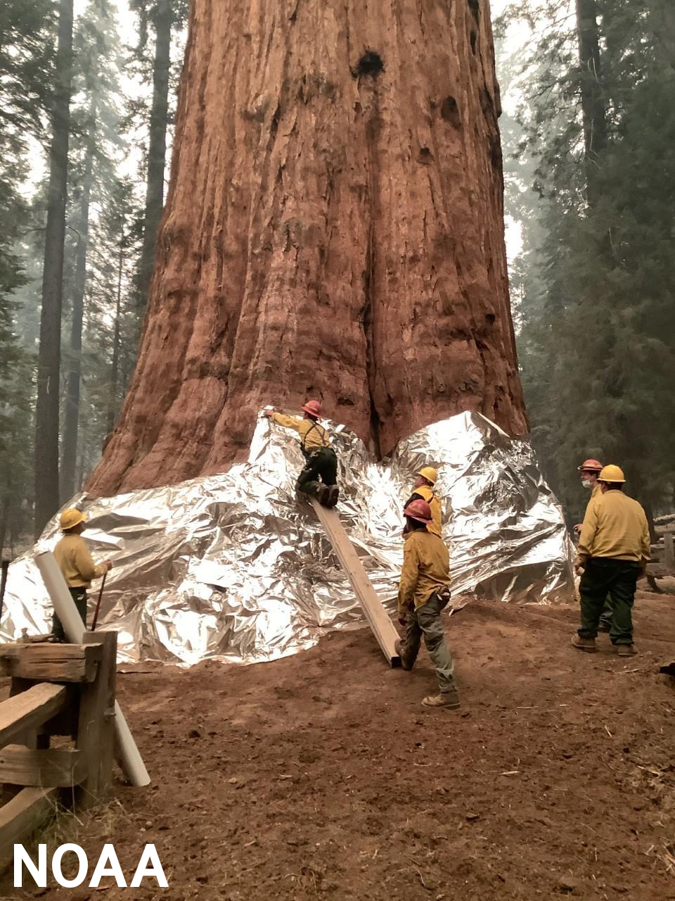 Wildland firefighters apply structure wrap to the base of a giant sequoia tree to protect it from the KNP Complex Wildfire, September 17, 2021.