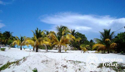 San Crisanto palmeras