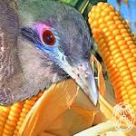 Maya Myths: Dziu and the Corn