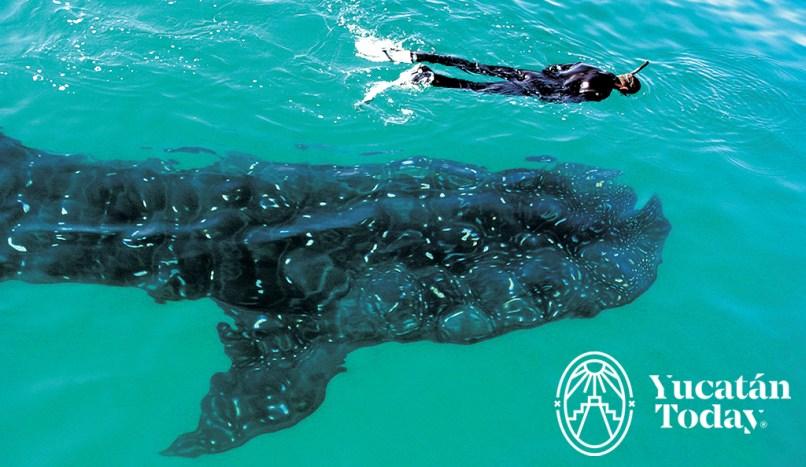 Tiburon ballena 1