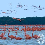 Cherie's Bird of the Month: American Flamingo