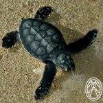 Millennial Sea Turtles