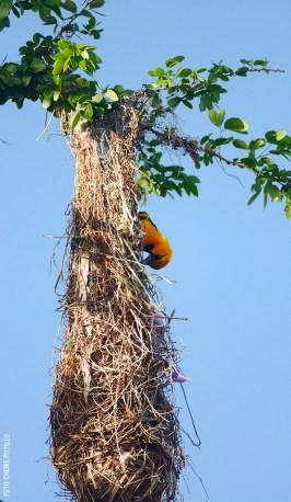 Altamira-Oriole-at-nest-entrance-by-Cherie-Pittillo-01