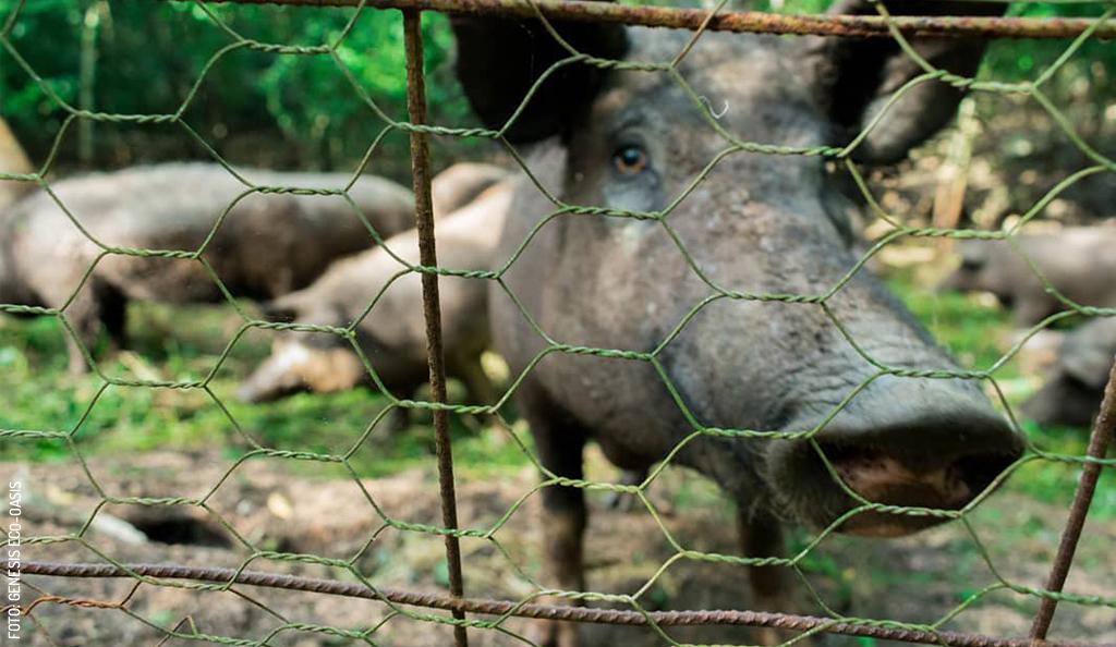 Box Kekén: Yucatán's Porcine Peacekeeper